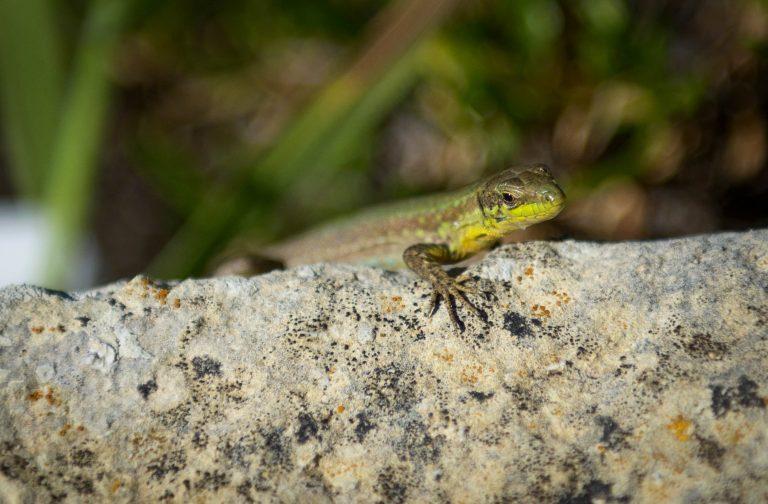 Lizard Gozo