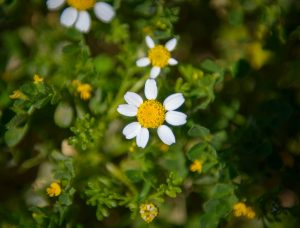 Maltese Sea Chamomile at Dwejra
