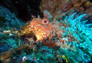 Scorpion Fish at Dwejra