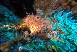 Scorpion Fish at Dwejra